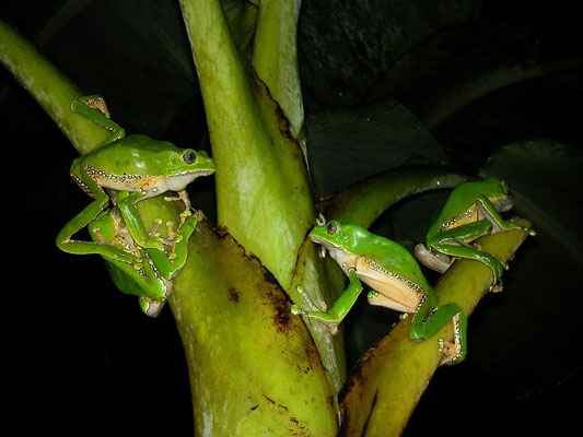 In situ picture of four giant monkey frogs (Phyllomedusa bicolor).