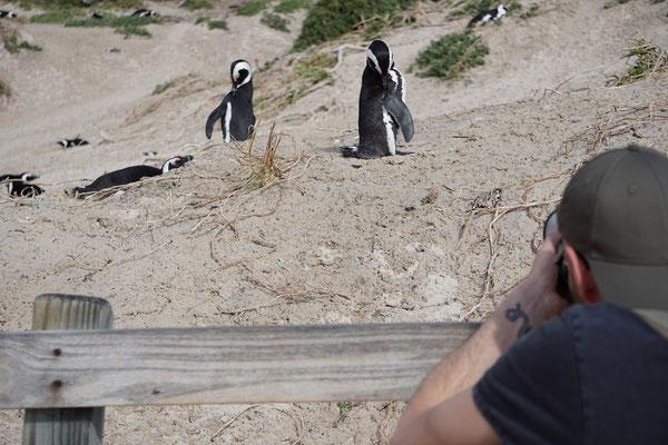 Pervy penguin photographer. © Maarten Slootjes