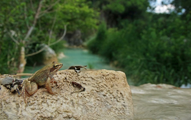Balkan Stream Frog (Rana graeca)