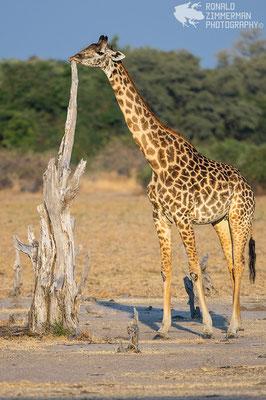 Rhodesian Giraffe (Giraffa camelopardalis thornicrofti)