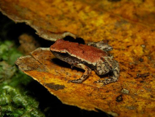 Gardiner's Pygmy Frog (Seychellophryne gardineri)