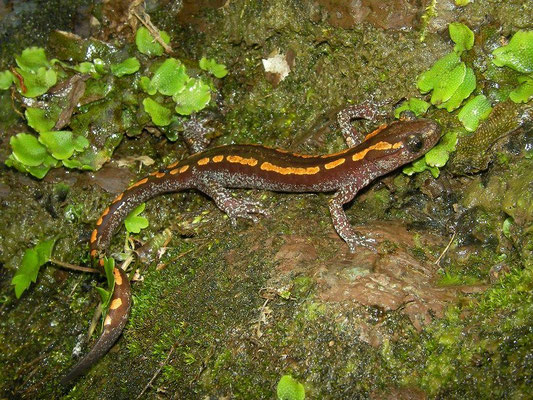 Caucasian Salamander (Mertensiella caucasica) male
