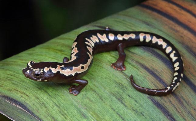 O'Donnell's Mushroomtongue Salamander (Bolitoglossa odonnelli)
