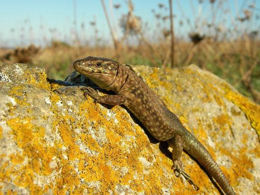 Lilford's Wall Lizard (Podarcis lilfordi addayae), Ille de Grande Addaia, Menorca, Spain, October 2010