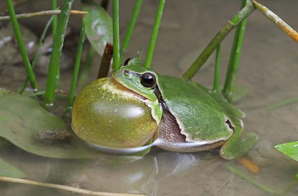 Tree Frog (Hyla arborea) calling male