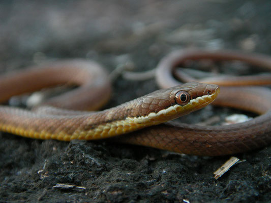 Seychelles Wolf Snake (Lycognatophis seychellensis)