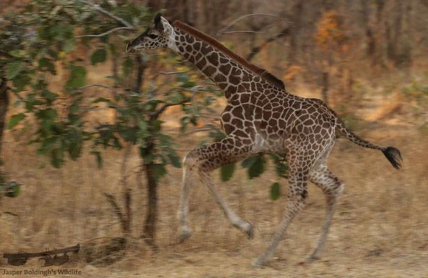 Baby Rhodesian Giraffe (Giraffa camelopardalis thornicrofti) which couldn't stop running!