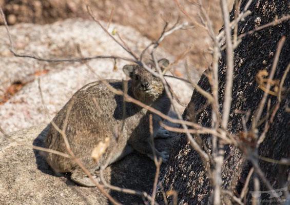 Rock Hyraxe (Procavia capensis)