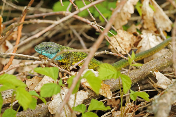 Eastern Green Lizard (Lacerta viridis) male