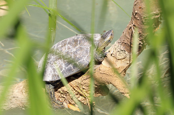 Balkan Terrapin (Mauremys rivulata) avoiding the chilly water.