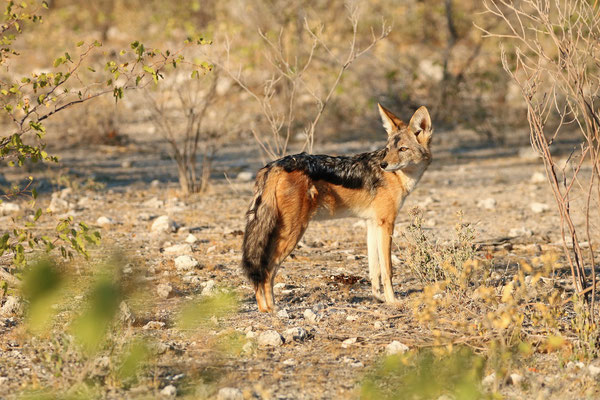 Black-backed Jackal (Canis mesomelas) in the afternoon sun.