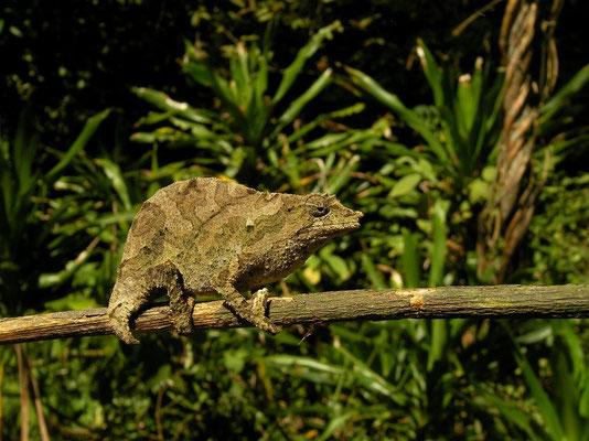 Nchisi Pygmy Chameleon (Rhampholeon nchisiensis)