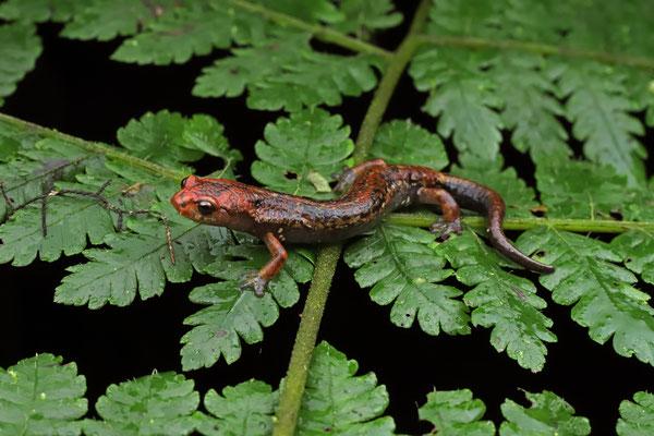 Brame's Webfoot Salamander (Bolitoglossa cf. bramei)