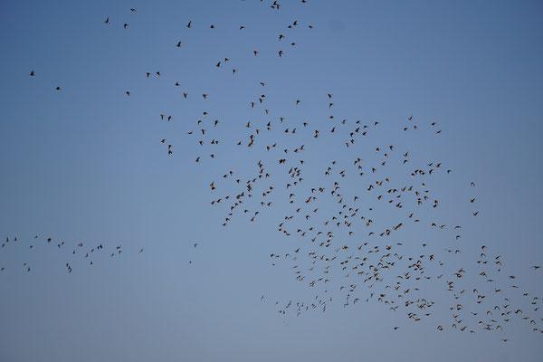 Many Namaqua Sandgrouse (Pterocles namaqua) © Maarten Slootjes