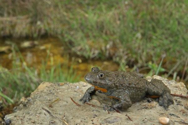 Yellow-bellied Toad (Bombina variegata) male