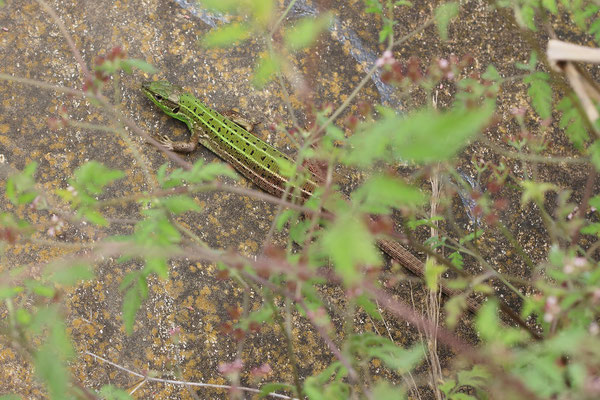 Caspian Green Lizard (Lacerta strigata)