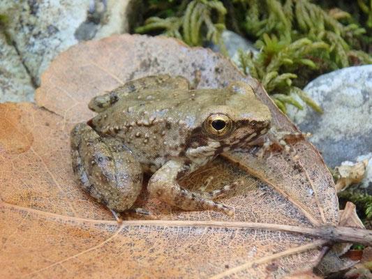 Greek Stream Frog (Rana graeca) juvenile