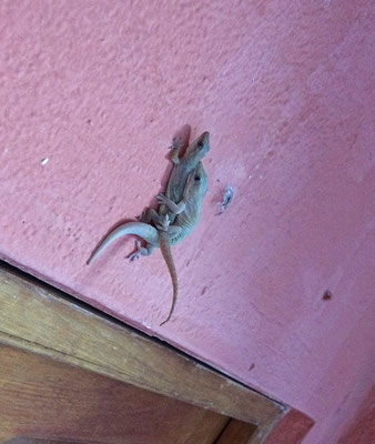 Common hotel herp #2: Common House Gecko (Hemidactylus frenatus) making sure they stay common.