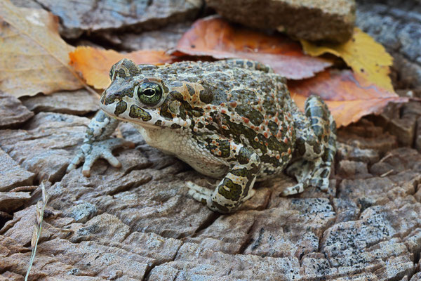 Green Toad (Bufotes viridis balearicus) from a previous trip.
