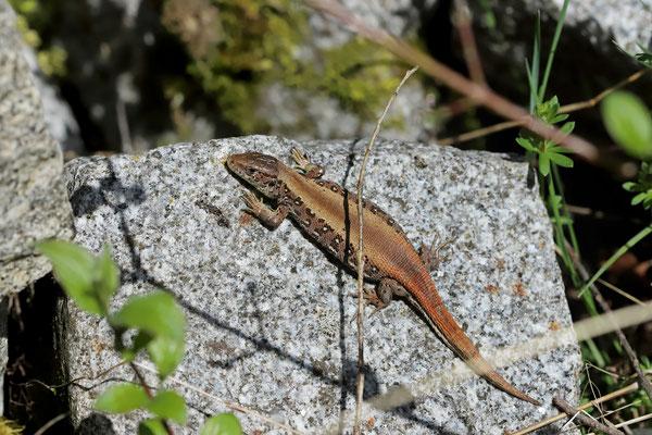 Sand Lizard (Lacerta agilis argus) female of erythronotus colour morph.