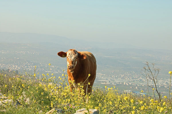 Cow at the border with the West Bank.
