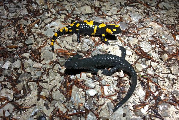 Fire Salamander (Salamandra salamandra) top, Alpine Salamander (Salamandra atra) bottom.