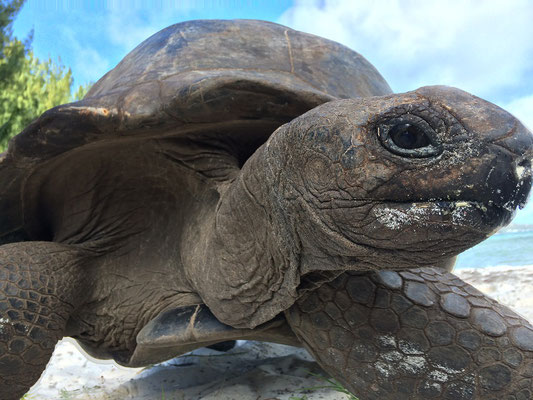 Aldabra Giant Tortoises (Aldabrachelys gigantea) are very curious creatures