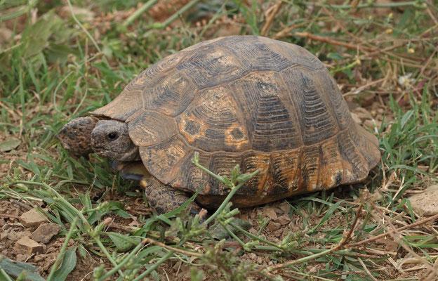 Spur-thighed Tortoises (Testudo graeca)