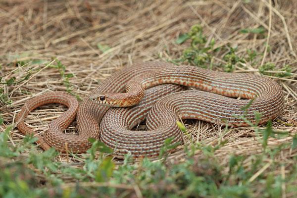Schmidt's Whip Snake (Dolichophis schmidti) subadult