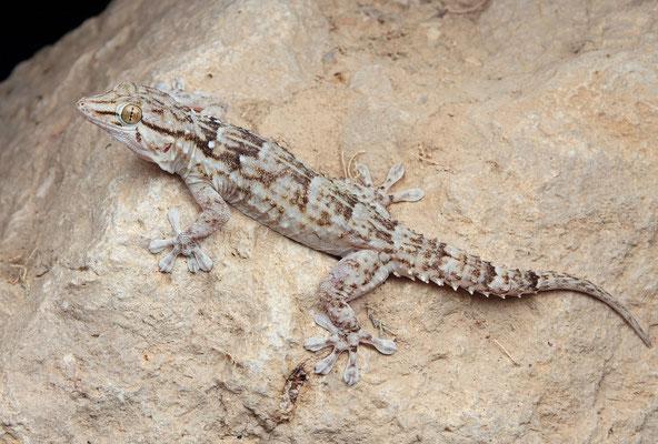 Egyptian Gecko (Tarentola annularis)