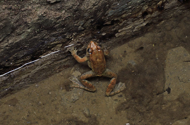 Tyrrhenian Painted Frog (Discoglossus sardus)
