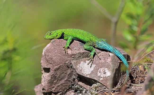 Bocourt's Emerald Lizard (Sceloporus smaragdinus)