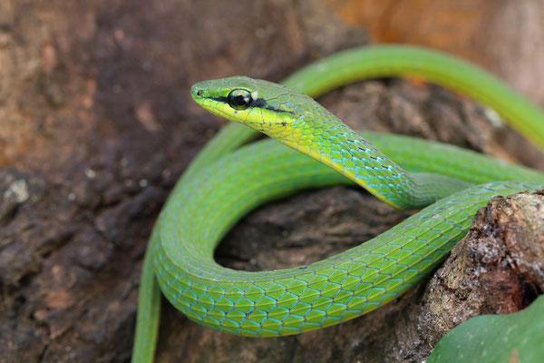 Emerald Snake (Hapsidophrys smaragdinus)