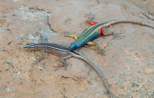 Augrabies Flat Lizards (Platysaurus broadleyi), male examining a possible mate.