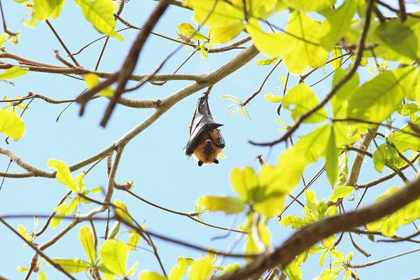 Seychelles Fruitbat (Pteropus seychellensis)