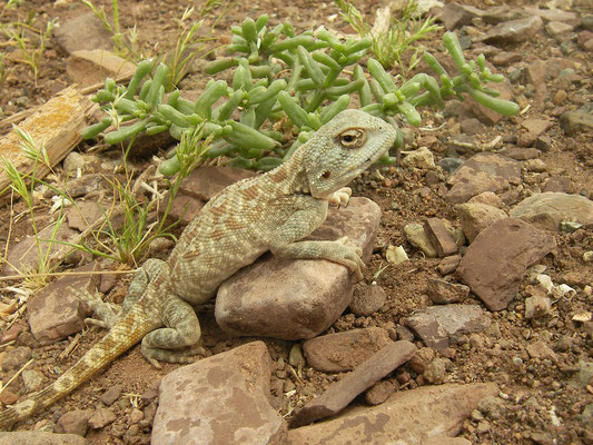 Brilliant Ground Agama (Trapelus agilis)