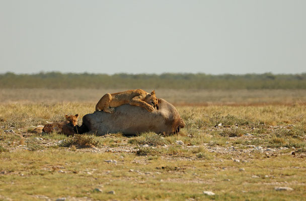 We came across this Rhino(?) carcass with a pride of Lions munching down on it.