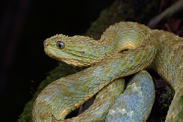 Variable Bush Viper (Atheris squamigera)