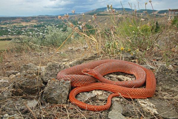 Schmidt's Whip Snake (Dolichophis schmidti)