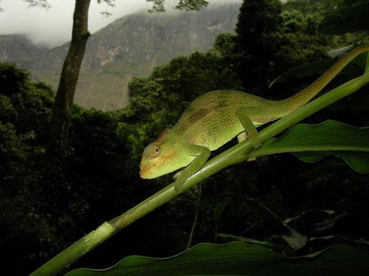 Mulanje Chameleon (Nadzikambia mlanjensis)