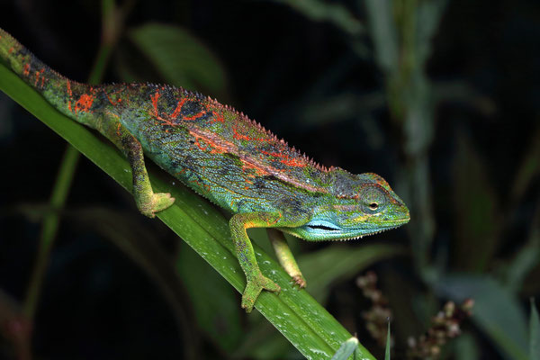 Montane Side-striped Chameleon (Trioceros ellioti)