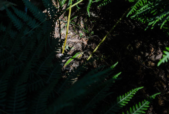 Ionian Wall Lizard (Podarcis ionicus) © Madeleine Wouda
