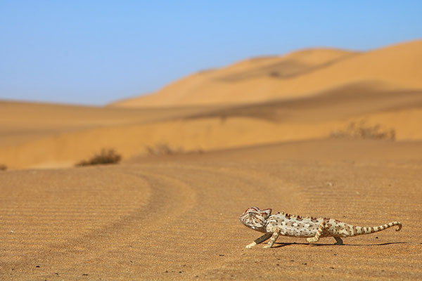 "Namaqua Chameleon (Chamaeleo namaquensis) crossing the ""road"" in front of the car."