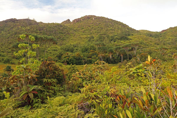 The only high altitude swamp in the Seychelles, the Plaine Hollandaise.