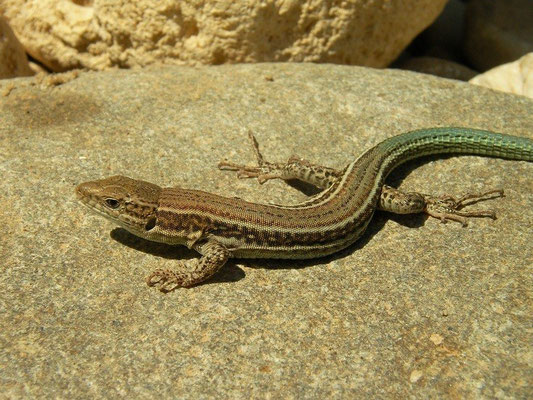 Cretan Wall Lizard (Podarcis cretensis), Crete, Greece, August 2012