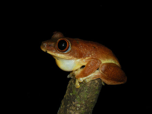 Seychelles Tree Frog (Tachycnemis seychellensis) calling male.