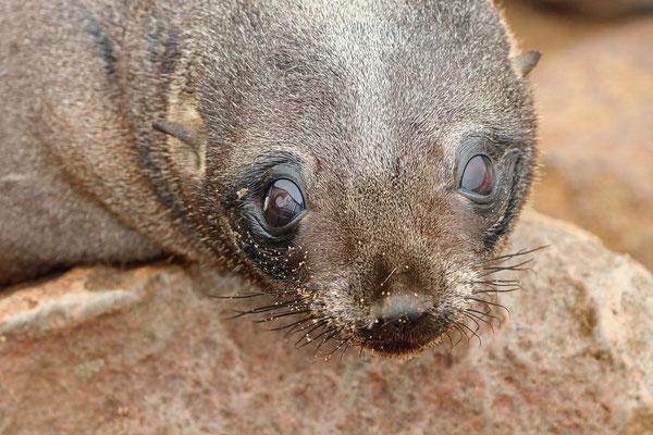 Cape Fur Seal (Arctocephalos pusillus) pup