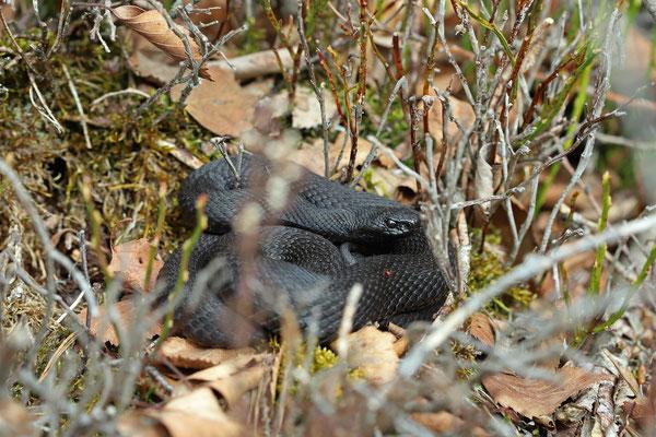 Adder (Vipera berus) female