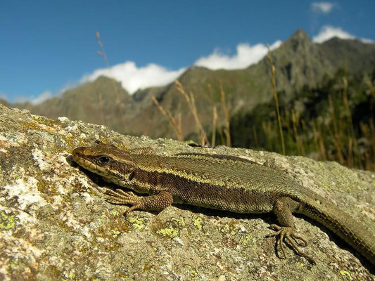 Pyrenean Rock Lizard (Iberolacerta bonnali), Pyrenees, France, August 2010