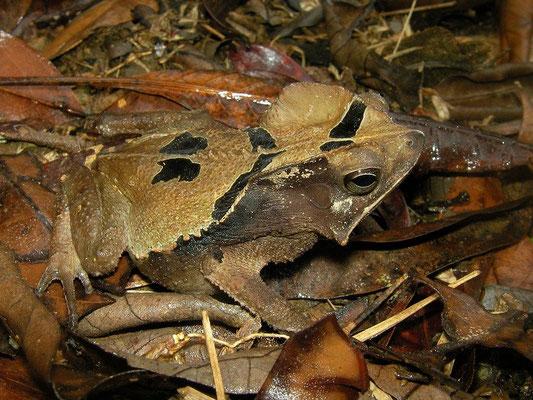 Crested forest toad (Rhinella margaritifera)